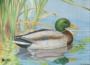 Ente Duck